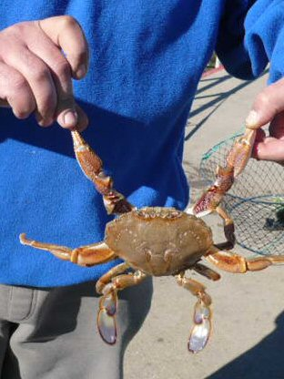 Sand Crab from Post Office Jetty at Lakes Entrance