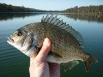 Bream at Lake Tyers